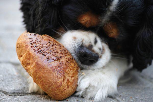 パン食べる犬