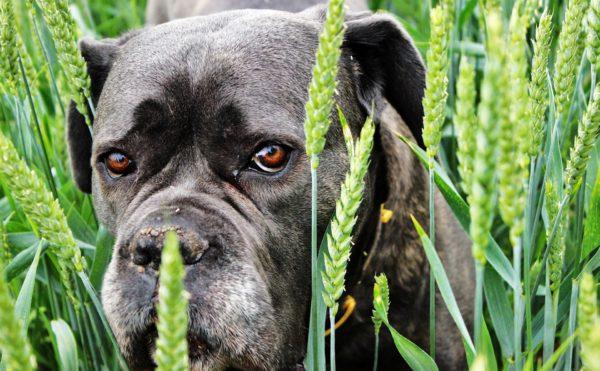 小麦畑の犬