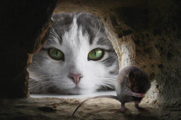 ネズミをねらう猫
