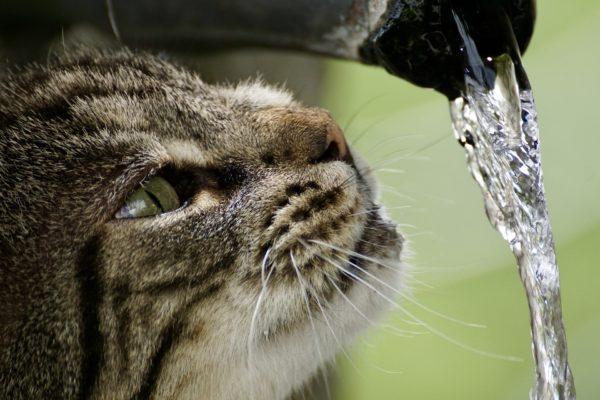 猫の水飲み行動